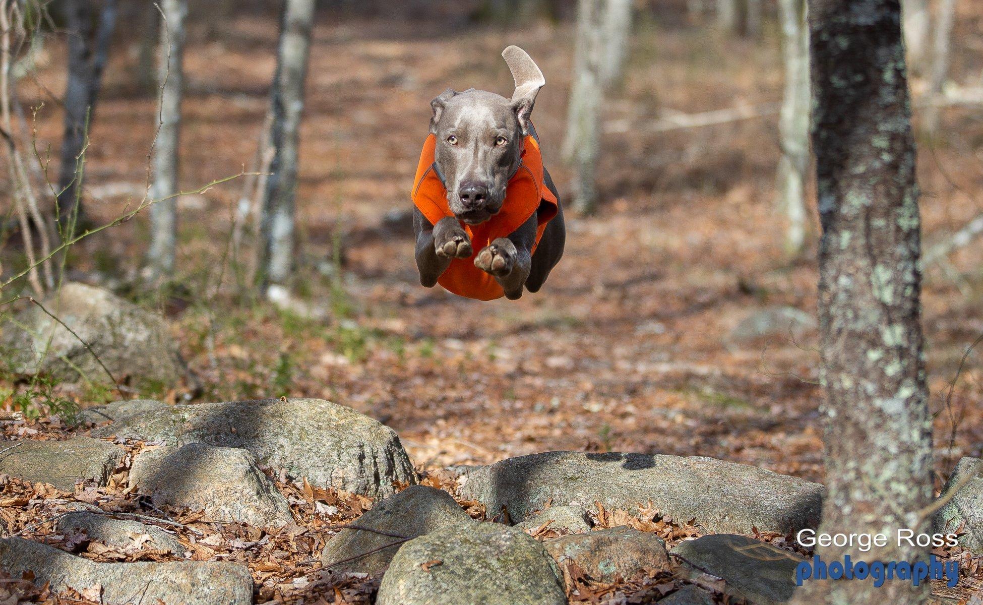 Dog Photography: Weimaraner, The Grey Ghost!