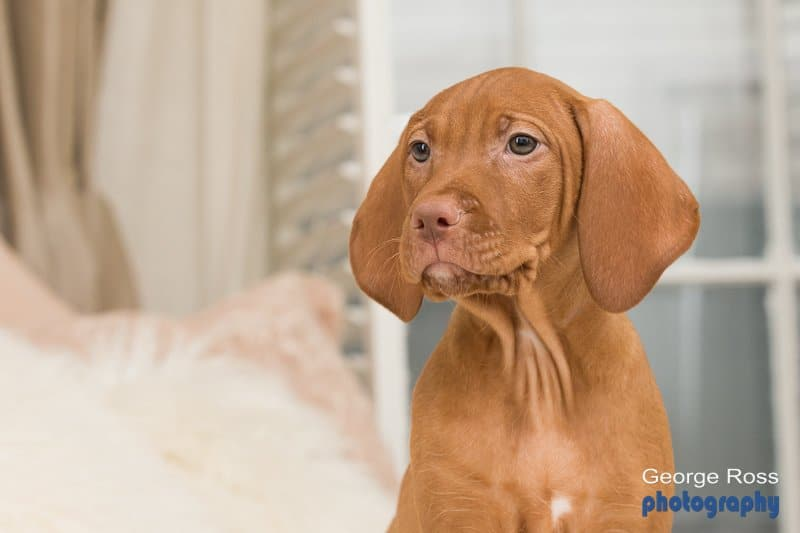 Dog photography: Hungarian Vizsla Puppy Photos