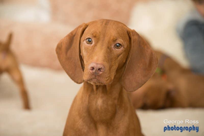 Dog photography: Hungarian Vizsla Puppy Photos