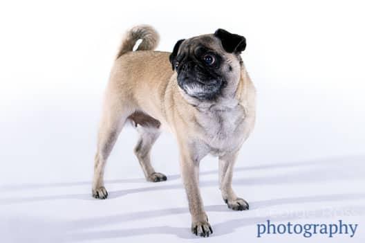 a portrait of a puggle dog