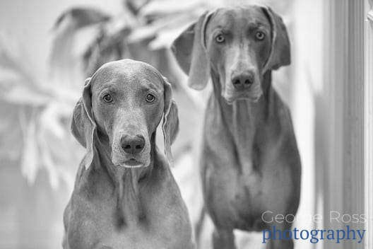 a black and white portrait of two weimaraners
