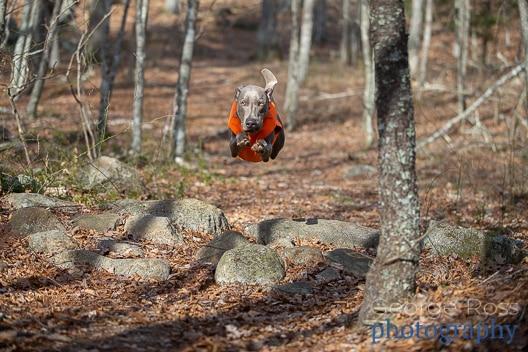 a flying weimaraner