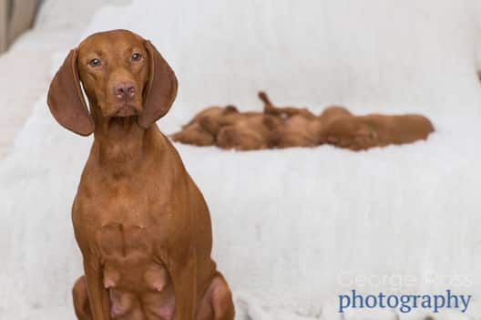 mother vizsla with her litter of puppies