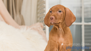 dog photography - puppy hungarian vizsla