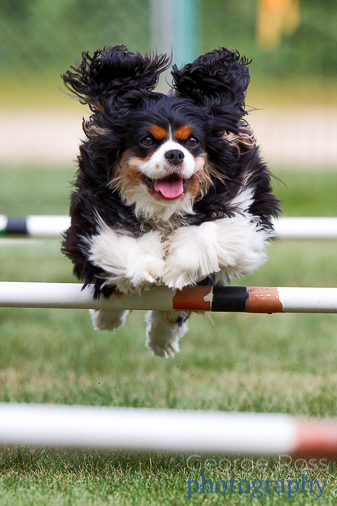 Dog photography: king charles spaniel jumping one a fence